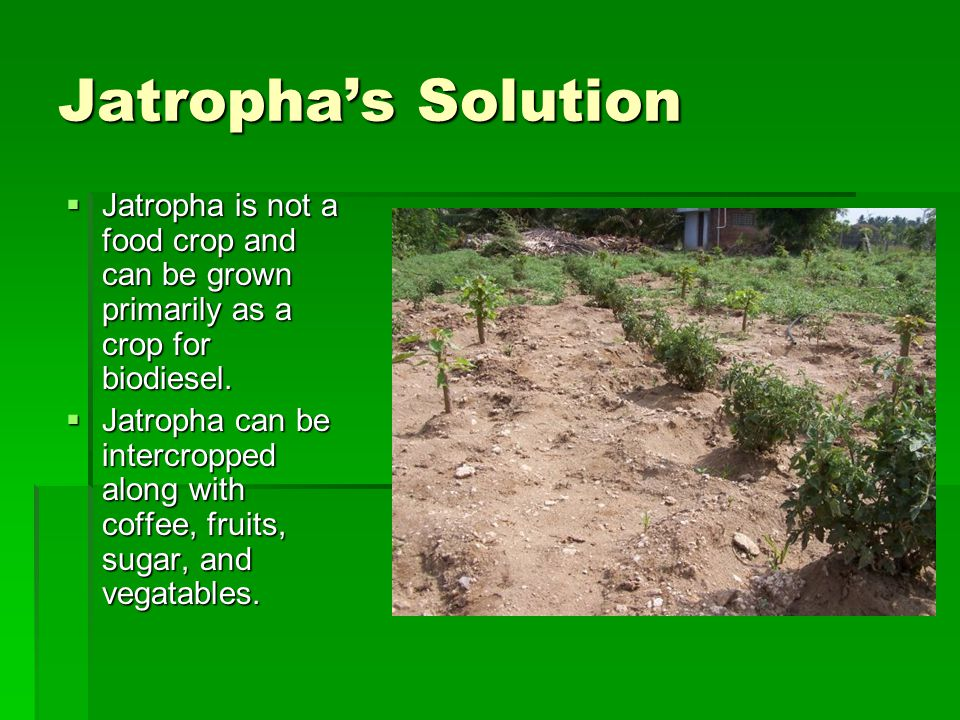 Jatropha's Solution Jatropha is not a food crop and can be grown primarily as a crop for biodiesel.