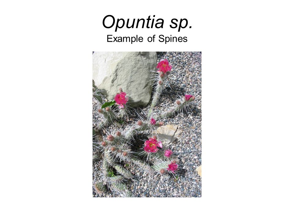 Opuntia sp. Example of Spines