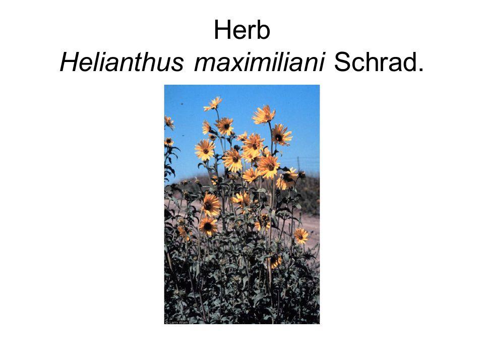 Herb Helianthus maximiliani Schrad.