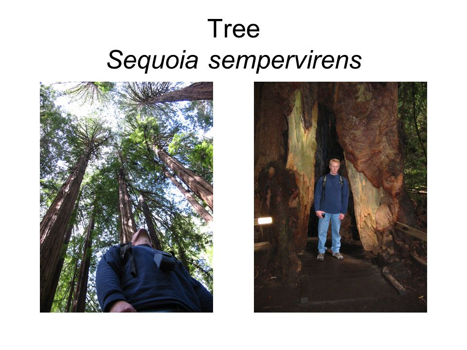 Tree Sequoia sempervirens