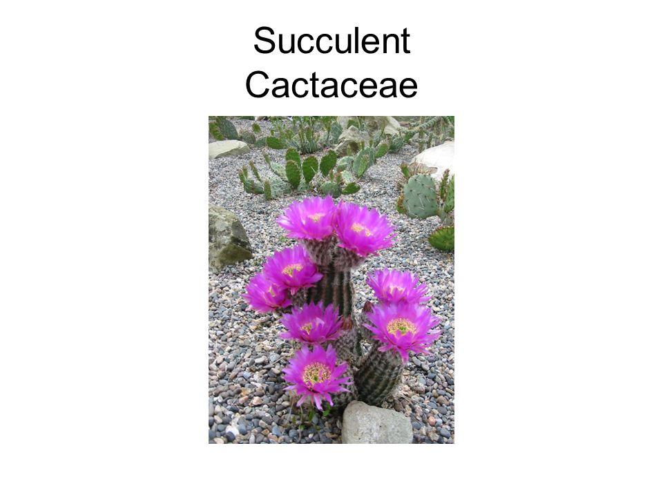Succulent Cactaceae