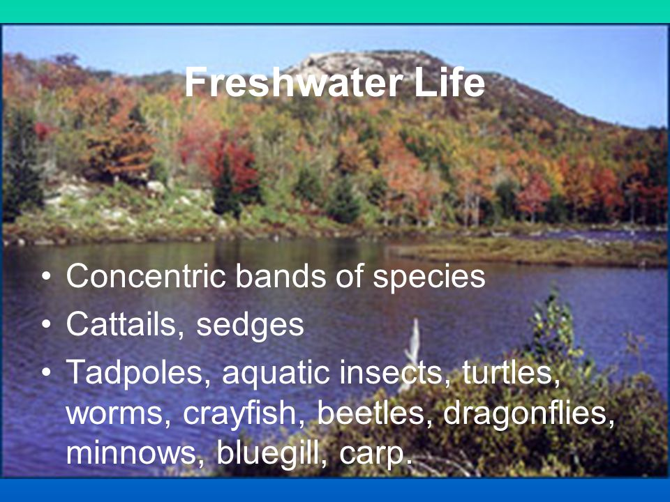 Freshwater Life Concentric bands of species Cattails, sedges