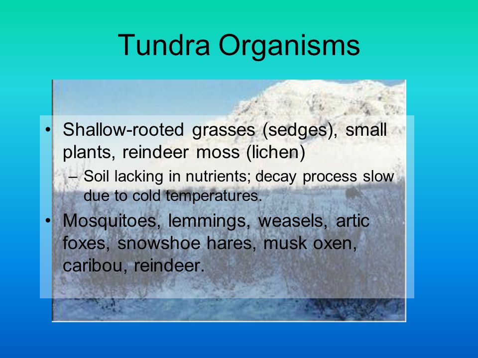 Tundra Organisms Shallow-rooted grasses (sedges), small plants, reindeer moss (lichen)