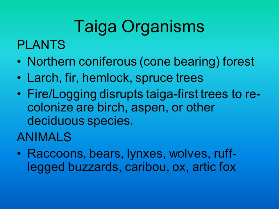 Taiga Organisms PLANTS Northern coniferous (cone bearing) forest