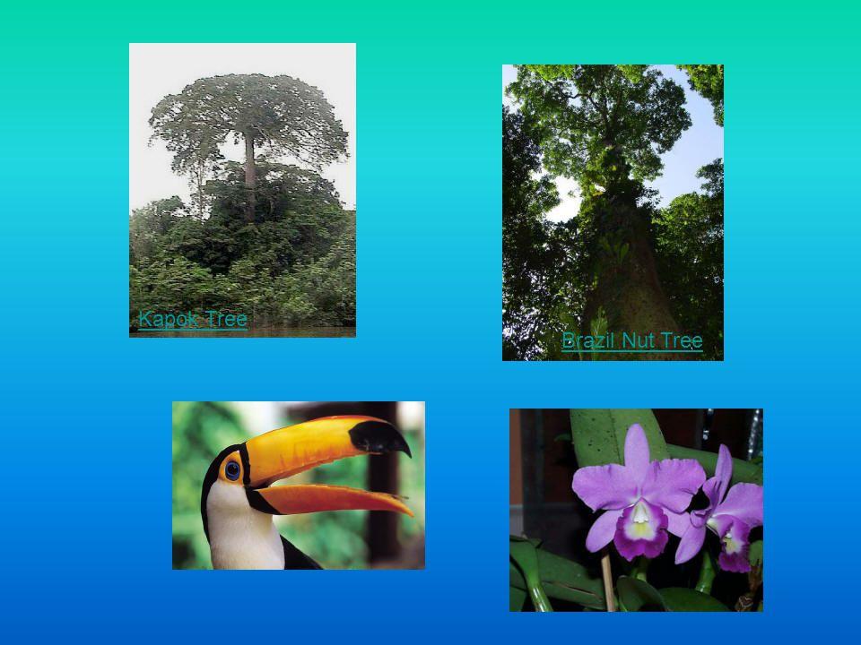 Kapok Tree Brazil Nut Tree