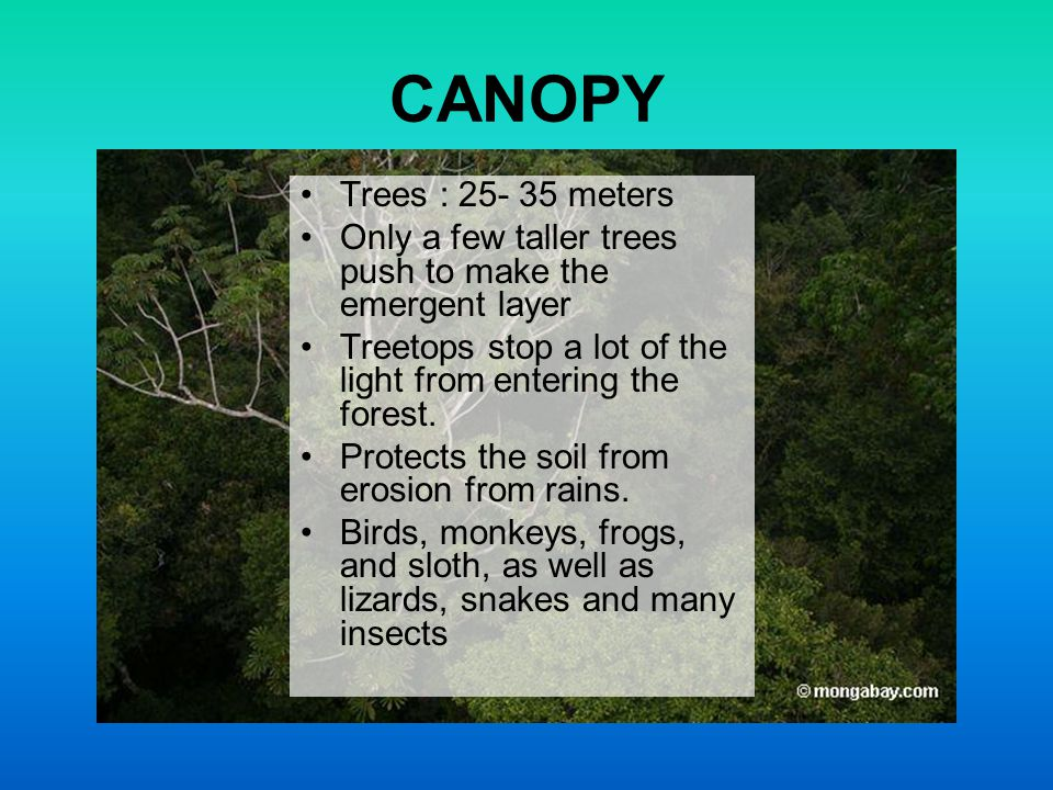 CANOPY Trees : 25- 35 meters. Only a few taller trees push to make the emergent layer. Treetops stop a lot of the light from entering the forest.