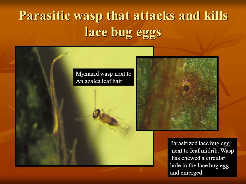 Parasitic wasp that attacks and kills lace bug eggs