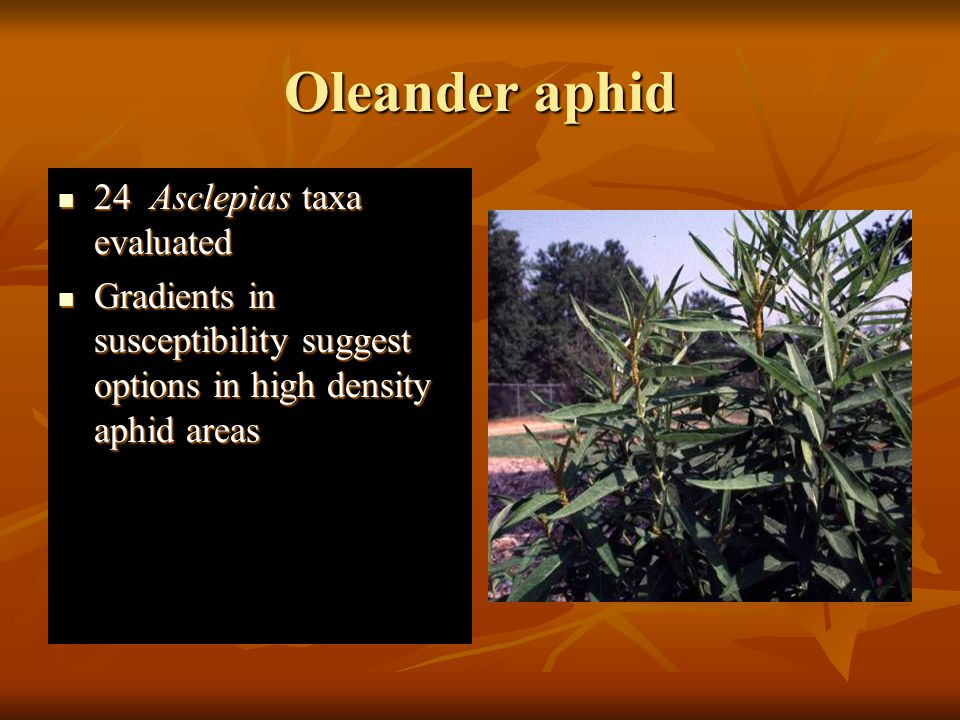 Oleander aphid 24 Asclepias taxa evaluated