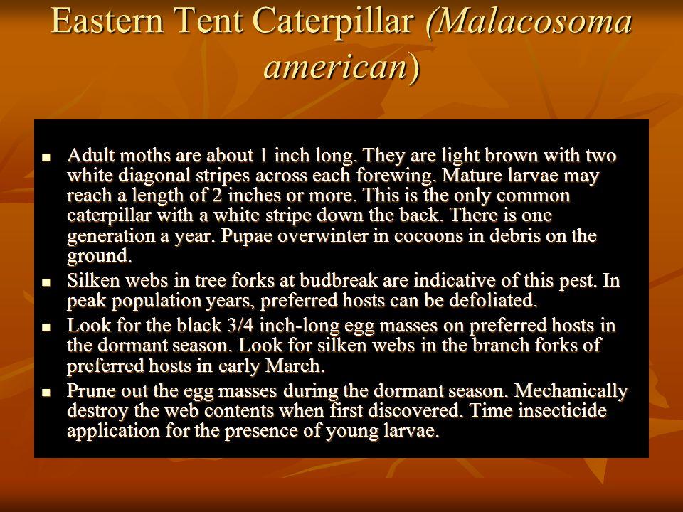 Eastern Tent Caterpillar (Malacosoma american)