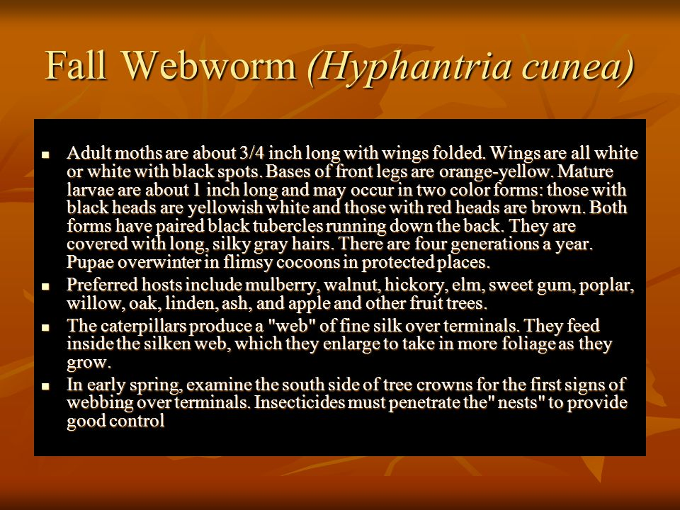 Fall Webworm (Hyphantria cunea)