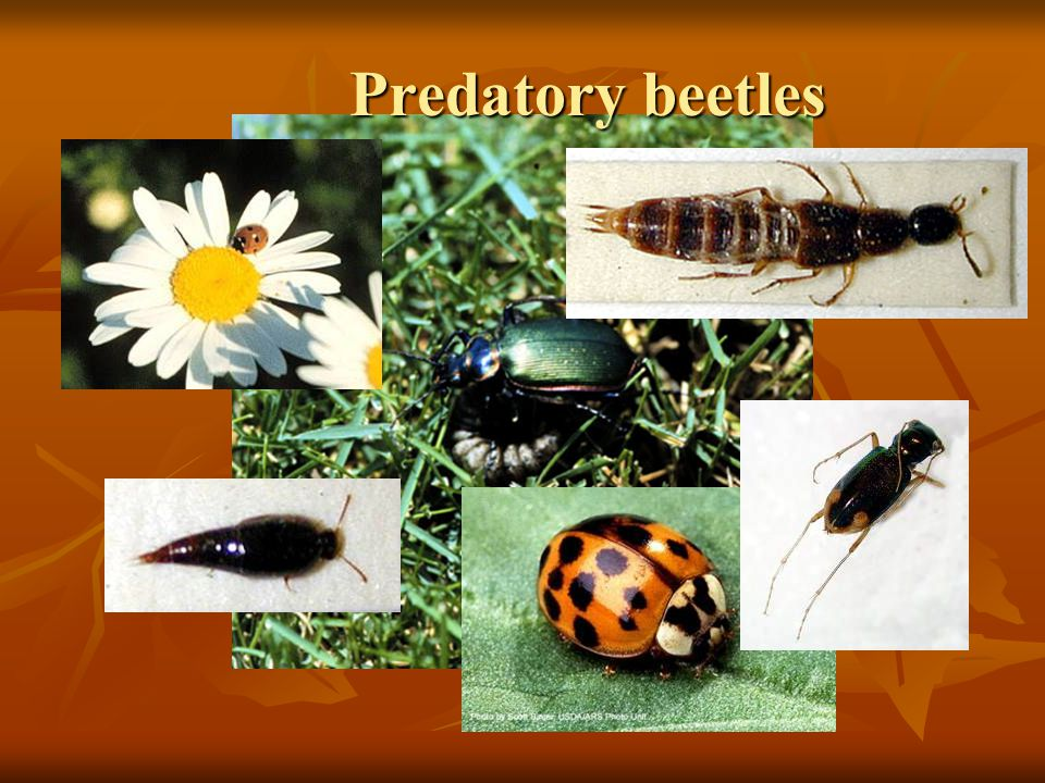 Predatory beetles Ground Beetles (Carabidae) are predaceous as adults and as larvae. There are.