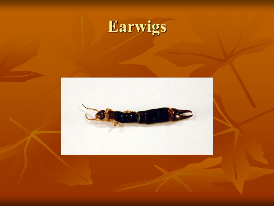 Earwigs Earwigs (Dermaptera) of many species are predaceous. One common. species was found to eat 50 chinch bugs per day in laboratory tests.