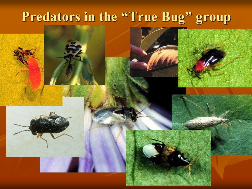 Predators in the True Bug group