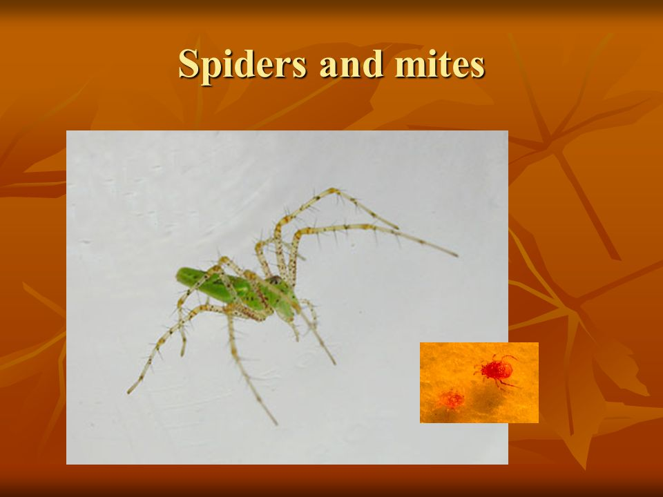 Spiders and mites Spiders are all predators, but have many different