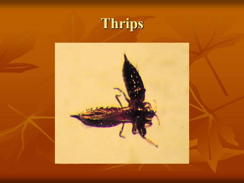 Thrips Thrips (Order Thysanoptera) are very small, narrow insects with fringes.