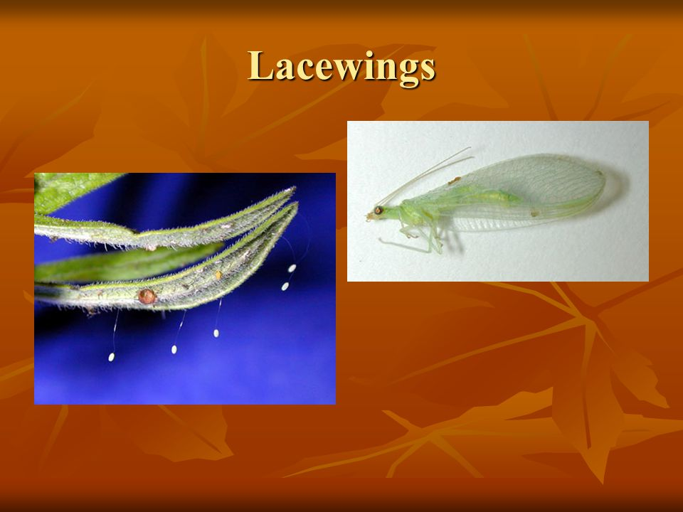 Lacewings Lacewings (Chrysopidae, Hemerobiidae) Both green lacewings and brown lacewings are predators,