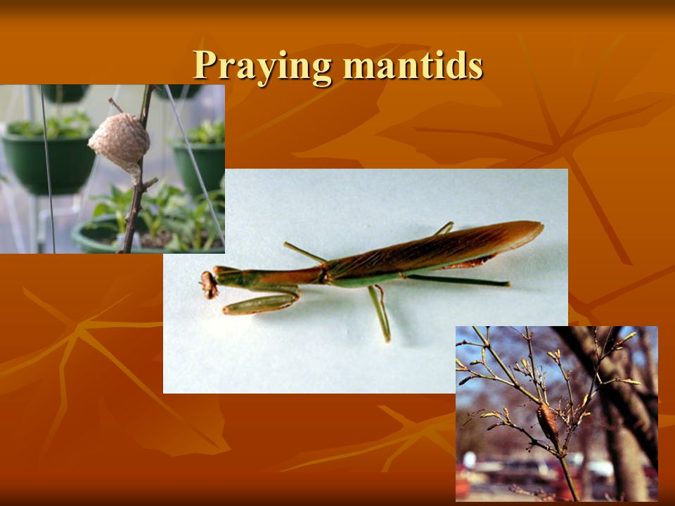 Praying mantids Praying Mantids (Mantidae) are comparatively large insects. Some may.