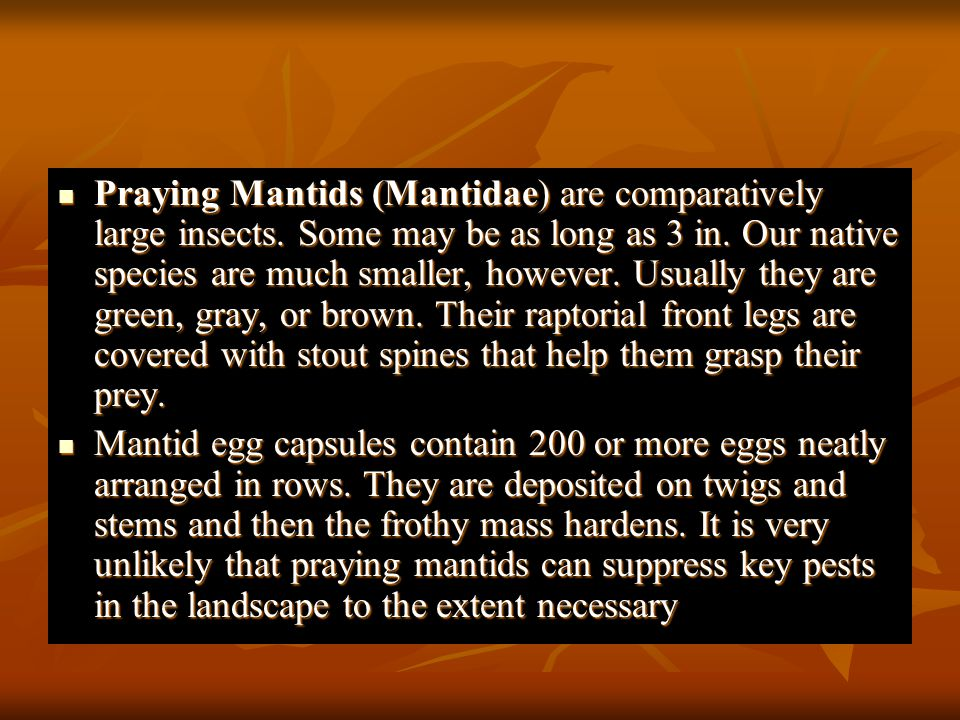 Praying Mantids (Mantidae) are comparatively large insects
