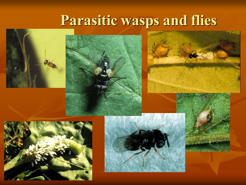 Parasitic wasps and flies