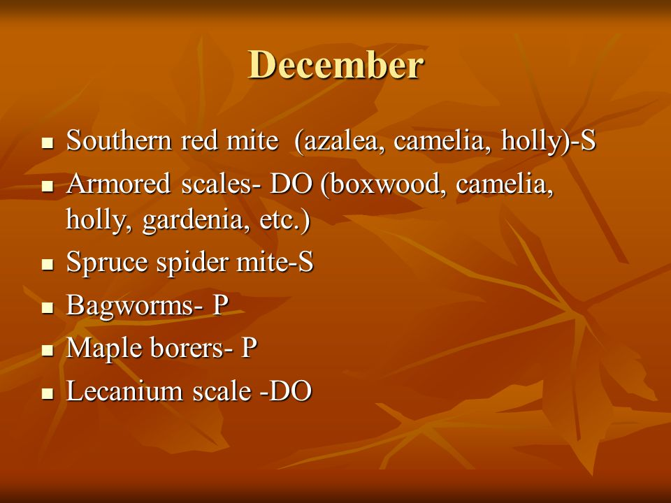 December Southern red mite (azalea, camelia, holly)-S