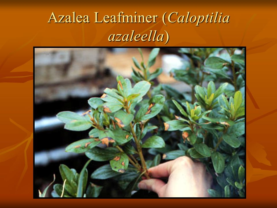 Azalea Leafminer (Caloptilia azaleella)