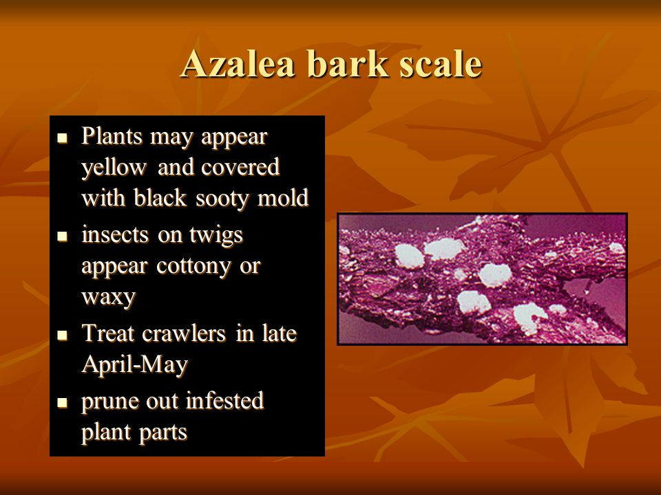 Azalea bark scale Plants may appear yellow and covered with black sooty mold. insects on twigs appear cottony or waxy.