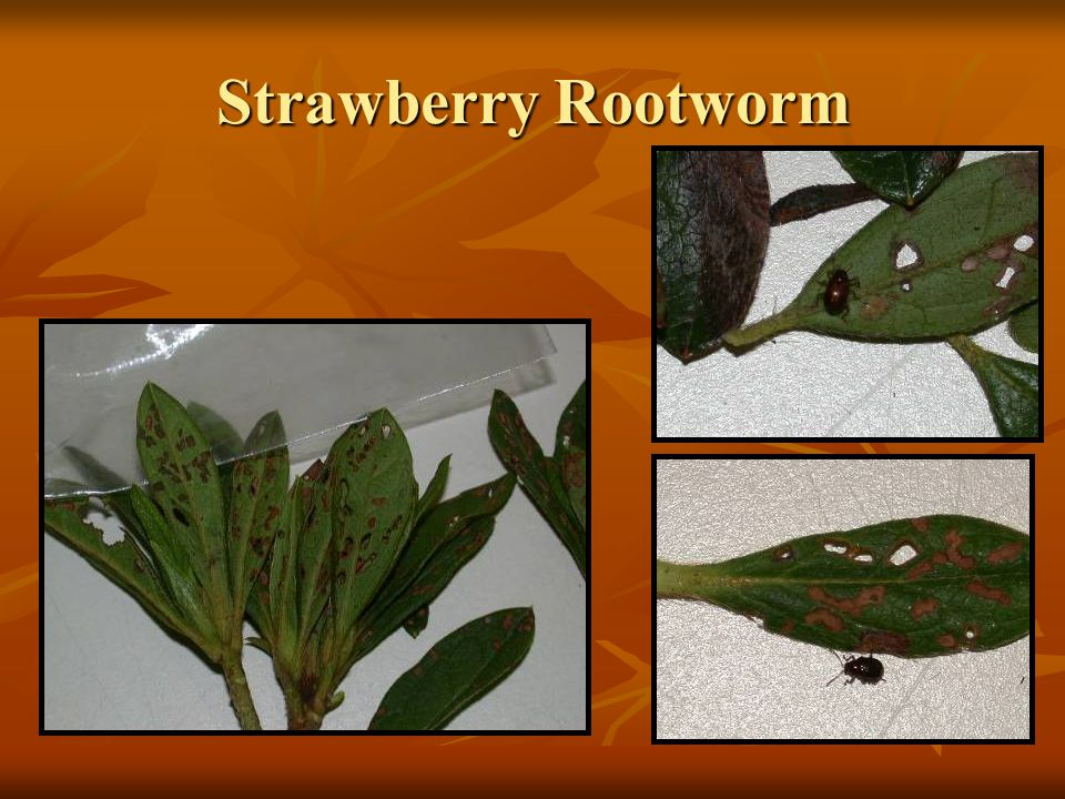 Strawberry Rootworm
