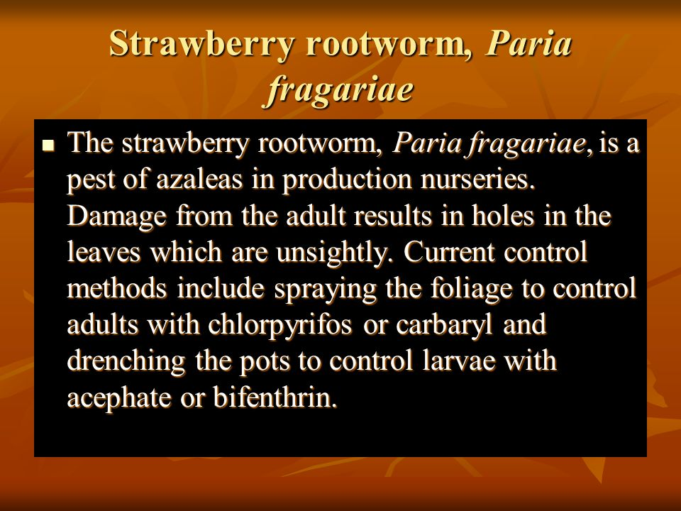 Strawberry rootworm, Paria fragariae