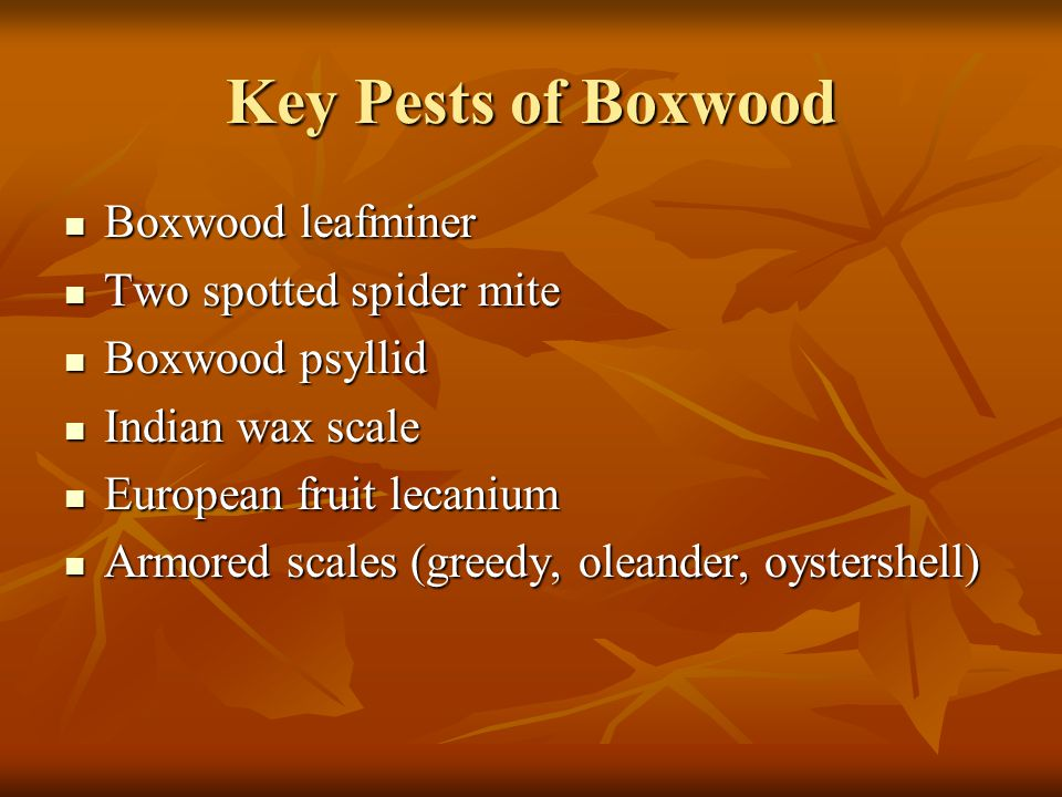 Key Pests of Boxwood Boxwood leafminer Two spotted spider mite