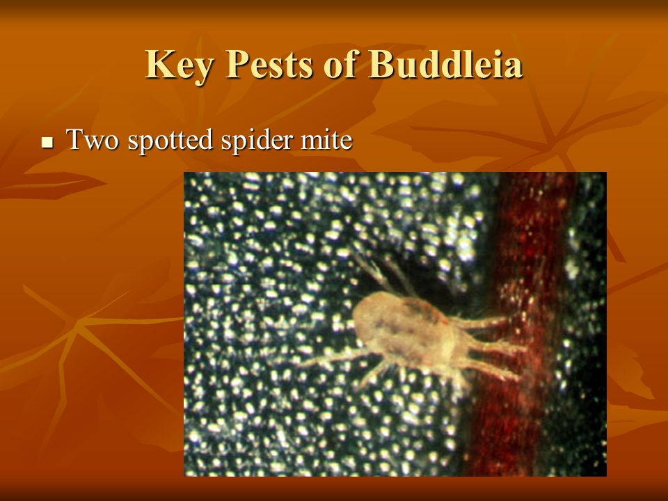 Key Pests of Buddleia Two spotted spider mite