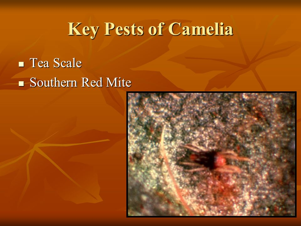 Key Pests of Camelia Tea Scale Southern Red Mite