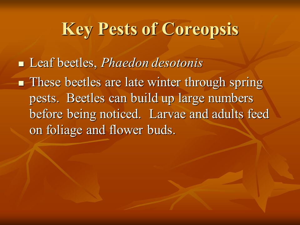 Key Pests of Coreopsis Leaf beetles, Phaedon desotonis