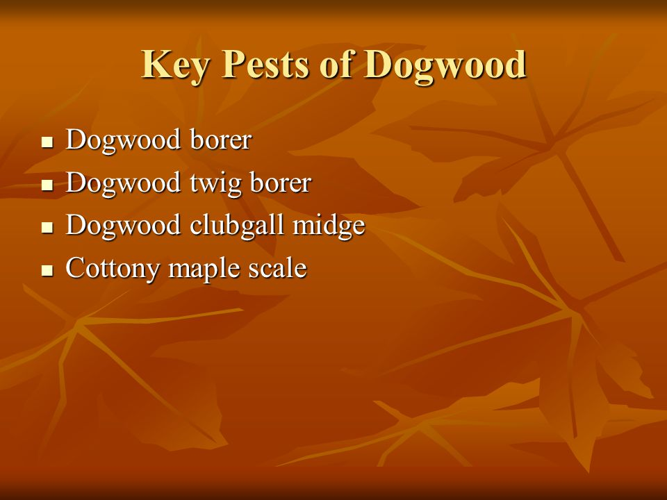 Key Pests of Dogwood Dogwood borer Dogwood twig borer