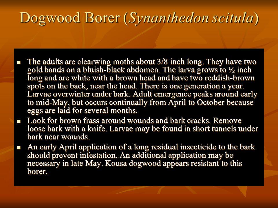 Dogwood Borer (Synanthedon scitula)