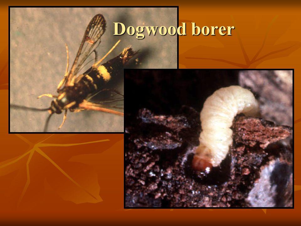 Dogwood borer