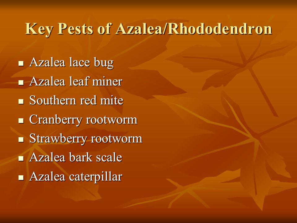 Key Pests of Azalea/Rhododendron