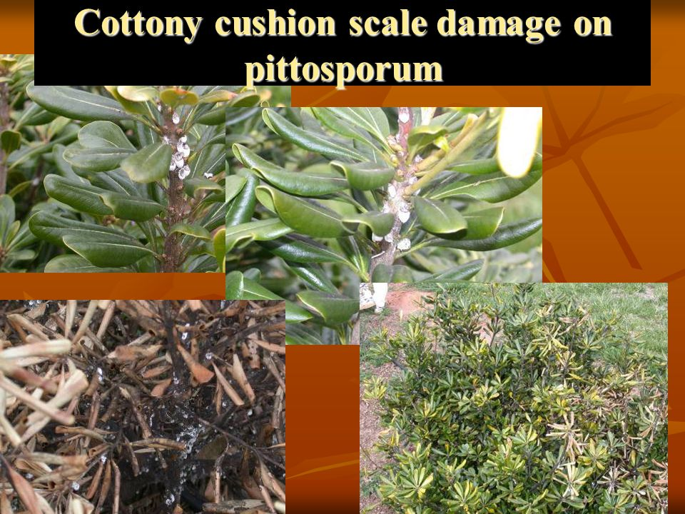 Cottony cushion scale damage on pittosporum