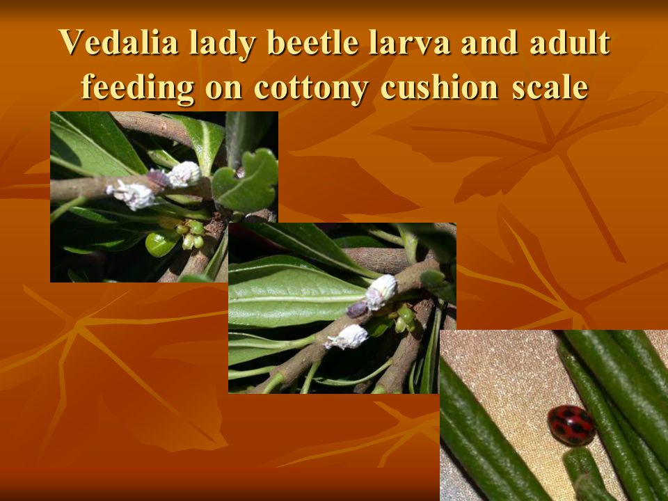 Vedalia lady beetle larva and adult feeding on cottony cushion scale