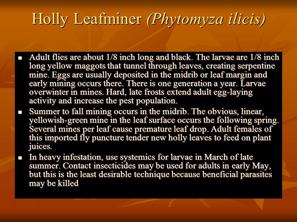 Holly Leafminer (Phytomyza ilicis)