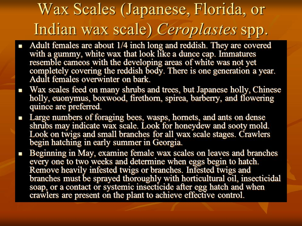 Wax Scales (Japanese, Florida, or Indian wax scale) Ceroplastes spp.
