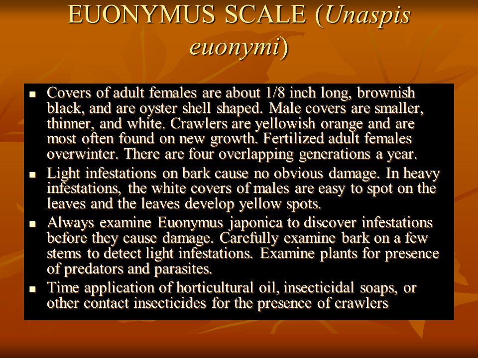 EUONYMUS SCALE (Unaspis euonymi)