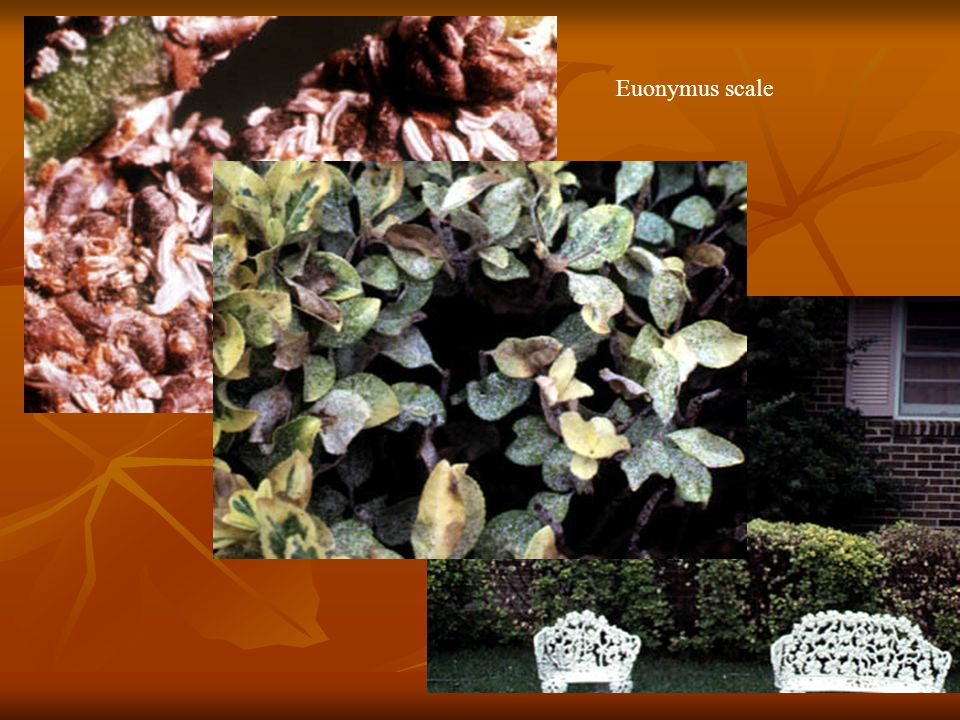 Euonymus scale