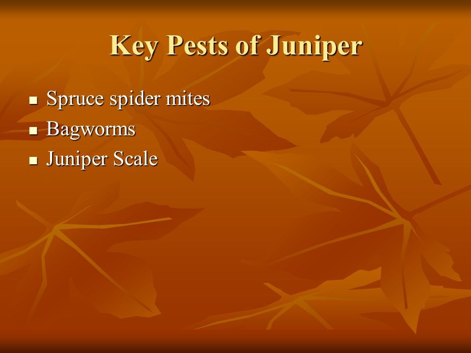 Key Pests of Juniper Spruce spider mites Bagworms Juniper Scale