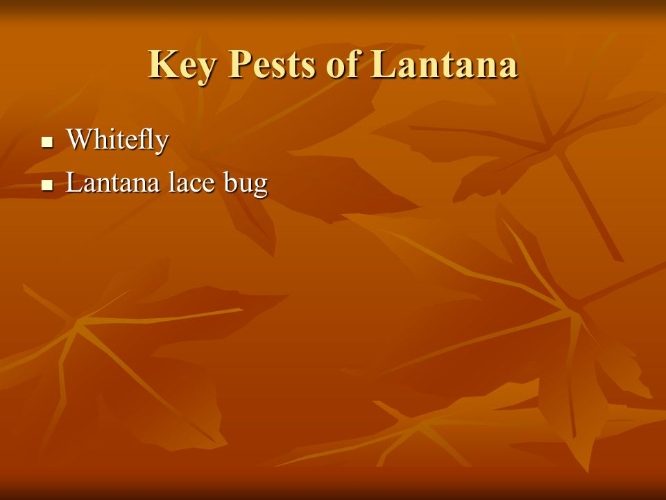 Key Pests of Lantana Whitefly Lantana lace bug