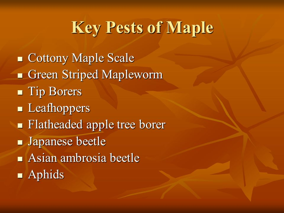 Key Pests of Maple Cottony Maple Scale Green Striped Mapleworm