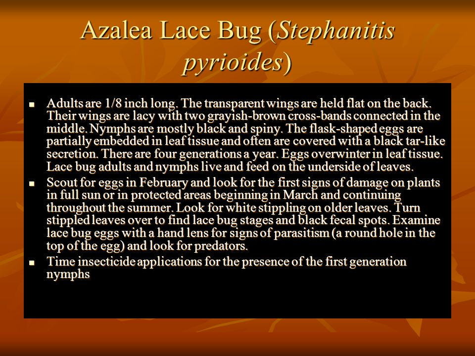 Azalea Lace Bug (Stephanitis pyrioides)