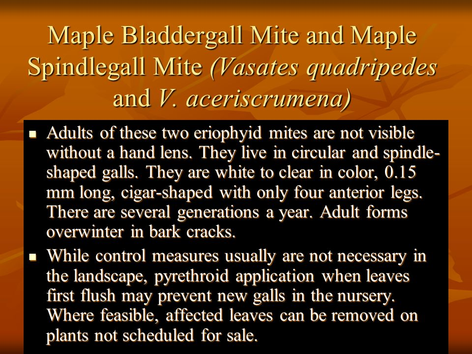 Maple Bladdergall Mite and Maple Spindlegall Mite (Vasates quadripedes and V. aceriscrumena)