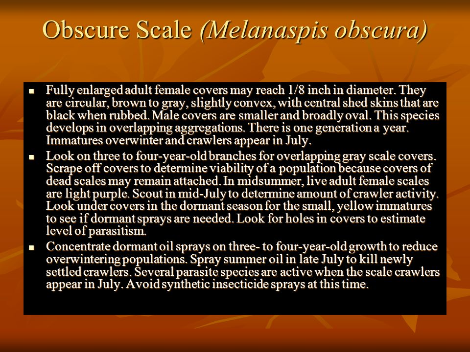 Obscure Scale (Melanaspis obscura)