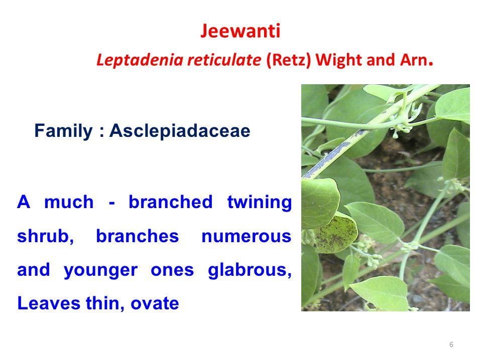 Jeewanti Leptadenia reticulate (Retz) Wight and Arn.