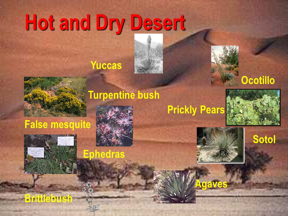Hot and Dry Desert Yuccas Ocotillo Turpentine bush Prickly Pears